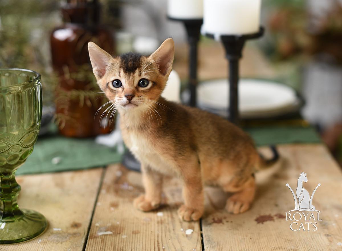 Хлопчик 2. Кошеня Чаузи Ф5 розплідника Royal Cats