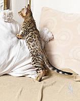 Мальчик. Бенгальский котёнок питомника Royal Cats., фото 1