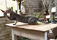 Мальчик. Котёнок Саванна Ф5 питомника Royal Cats, фото 1
