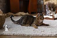 Мальчик. Котёнок Чаузи Ф2 питомника Royal Cats