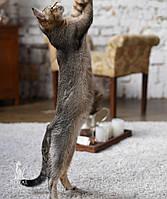 Мальчик. Котёнок Чаузи Ф1 питомника Royal Cats