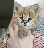 Мальчик 1. Котёнок Сервала, питомник Royal Cats , фото 1