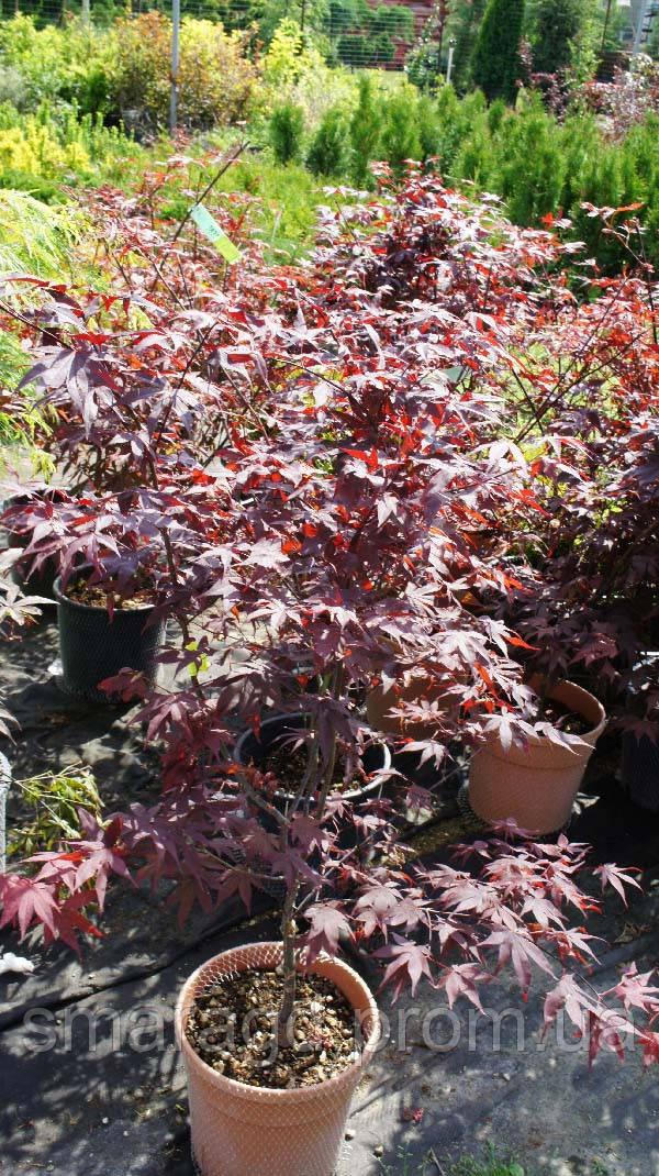 клен Acer Palmatum Skeeters Broomвысота 40 60 см горшок 45л