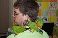 Ручной попугай для разговора Сенегал и Аратинга, продажа
