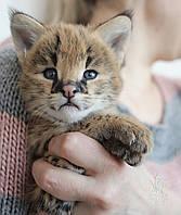 Мальчик 2. Котёнок Сервала, питомник Royal Cats