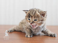 Девочка. Котёнок Саванна Ф1, питомник Royal Cats , фото 1