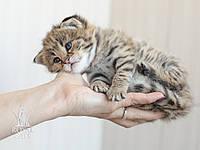 Девочка 2. Котёнок Саванна Ф1, питомник Royal Cats , фото 1