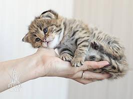 Девочка 2. Котёнок Саванна Ф1, питомник Royal Cats