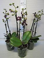 Орхидея Phalaenopsis Multiflora Кaoda Twinkle