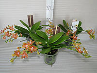 Орхидея Phalaenopsis Ампельный рыжик