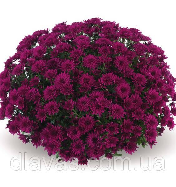 Хризантема шарообразная НОКО-ПУРЛЕ