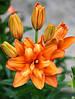 Лилия Orange Twins  - махровая