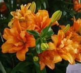 Лілія Orange Twins Новинка - махрова, фото 3