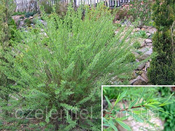 Ива розмаринолистная/ Salix rosmarinifolia (1,5-1,7 м)
