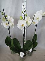 Орхидея Phalaenopsis Белая