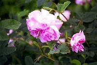 Сбор болгарской розы