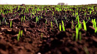 Как похолодание отобразится на состоянии зерновых?