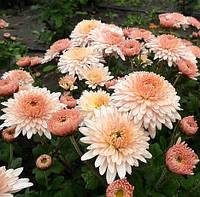 Хризантема корейская МАДАМ ШЕР низкая, бордюрная, фото 1