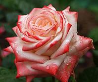 Саженцы  чайно-гибридных роз 'Императрица Фарах'