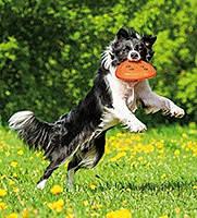 Puller и летающие тарелки для собак