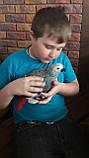 Жако пташенята (ручного докормления) 3,5 - 4 міс., фото 2