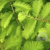 Метасеквойя глиптостробусовая Н1,4-1,6 м (Metasequoia glyptostroboides)