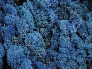 Мох стабилизированный ягель для фитостен синий за 100грамм