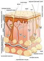 Заболевания кожи. Кожа— как выделительный орган