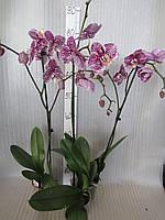 Орхидея Phalaenopsis в розовый крап