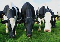 Продуктивное использование дойного стада