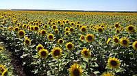 Как правильно подобрать густоту сева подсолнечника?