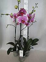 Орхидея Phalaenopsis Pandora 2  (Пандора 2) на 1 цветонос