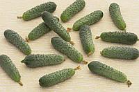Насіння огірка Меренга F1 (Merengue F1) Seminis 250 насінин, фото 1