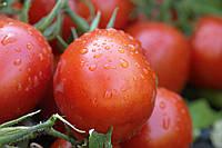 Насіння помідора Перфектпіл F1(Perfectpeel F1) Seminis 1000 насінин