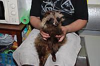 Украинский Енот - енотовидная собака, ручные щенки