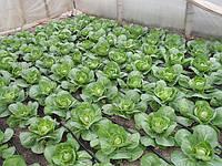 Вирощування капусти в теплицях і парниках