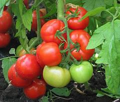 Томаты в теплице, начинаем получать большой урожай