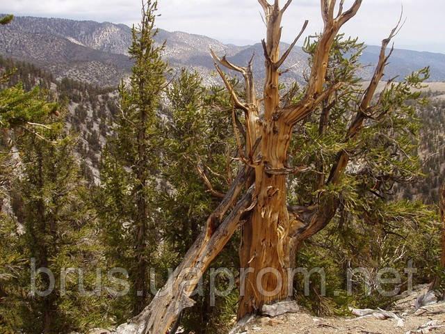 Мафусаил — одно из древнейших деревьев на Земле