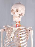 Макет человеческого скелета (181 см)