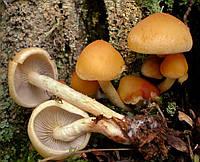 Мицелий на брусочках Опенок маковый (Гифолома маковая), Hypholoma capnoides