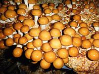 Мицелий на брусочках Опенок намеко (Фолиота намеко), Pholiota nameko