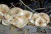Мицелий на брусочках Панус тигровый (Пилолистник тигровый), Panus tigrinus