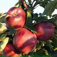 Яблоня Ред-Чиф