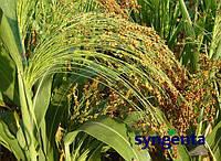 Семена сорго G 1990 от Сингента (Syngenta)