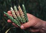 Болезни колоса на пшеницы, ячмени, овсе: как и чем лечить?