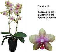 Подросток сортовой орхидеи фаленопсис Сандра