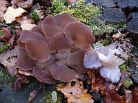 Мицелий на брусочках Тремеллодон студенистый (Ледяной гриб), Tremellodon gelatinosum