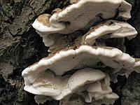 Мицелий на брусочках Трутовик дымчатый (Бьеркандера дымчатая), Bjerkandera fumosa