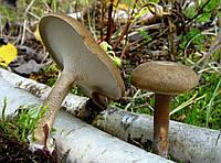Мицелий на брусочках Трутовик зимний (Полипорус зимний), Polyporus brumalis