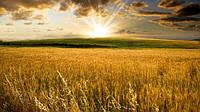 Экспортная украинская пшеница одна из самых качественных в мире.